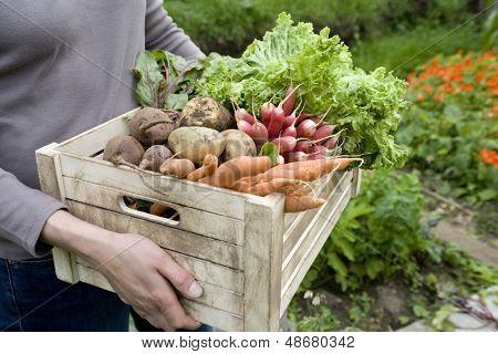 Barriga de mulher carregando caixa com verduras recém-colhidas no jardim