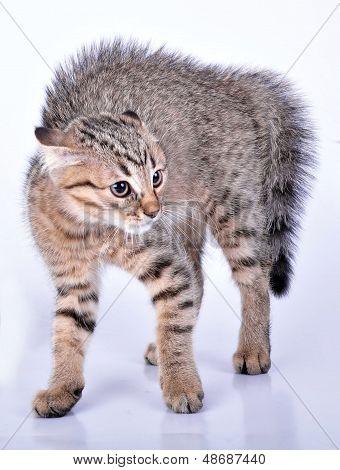 Small Scottish Straight Kitten Looking Scared