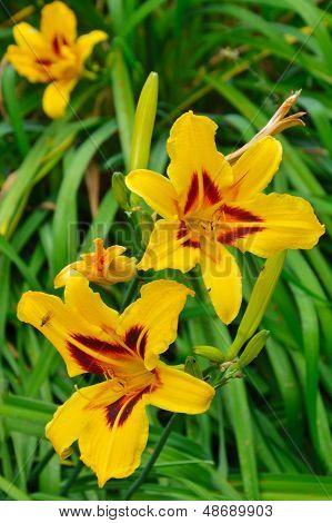 Yellow Lillies in garden