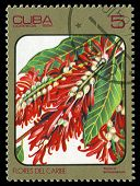 Cuba - Circa 1984: Post Stamp Printed In Cuba Shows Image Of Triplaris Surinamensis From Caribbean F