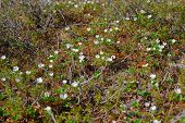 pic of taimyr  - Field of blossom cloudberry in Taimyr tundra