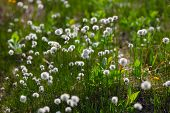 pic of taimyr  - white flowers of cotton grass in taimyr tundra
