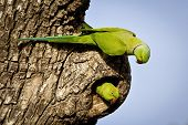 stock photo of parakeet  - A rose ringed parakeet pair exploring a nest cavity in Sri Lanka