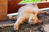 stock photo of scratching head  - cute red cat scratching himself outdoor in summer - JPG
