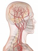 pic of human nervous system  - 3d rendered anatomy illustration of a human head shape with brain - JPG