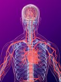 picture of human nervous system  - 3dx rendered anatomy illustration of a human shape with highlighted heart and vascular system - JPG
