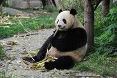 Adult giant panda bear eating bamboo shoots
