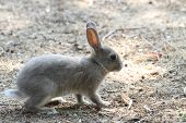 picture of rabbit hutch  - cute rabbit with grey fur around the beach looking for food - JPG