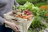 stock photo of root vegetables  - Midsection of woman carrying crate with freshly harvested vegetables in garden - JPG
