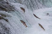 stock photo of upstream  - Sockeye salmon jumping up Brooks falls during the annual migration at Katmai National Park Alaska - JPG