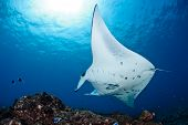 stock photo of manta ray  - Manta ray in Indian Ocean  - JPG