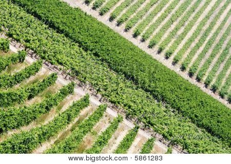 Vineyard #1, Barossa