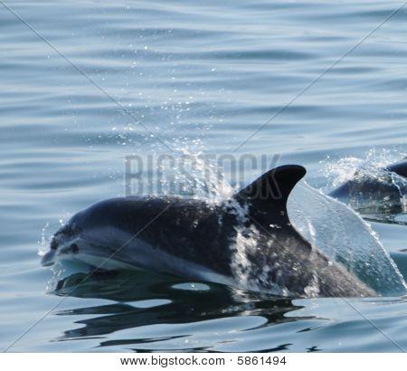 Dolphin Frollicking in Ocean