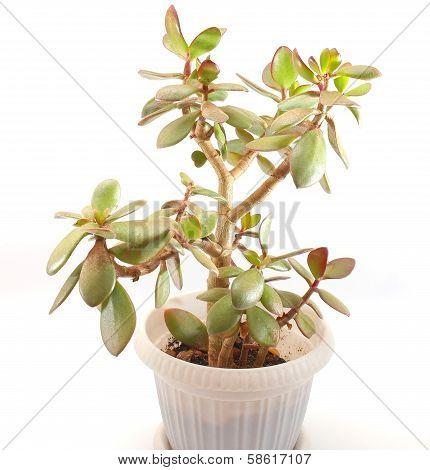 Money Tree (crassula Plant)