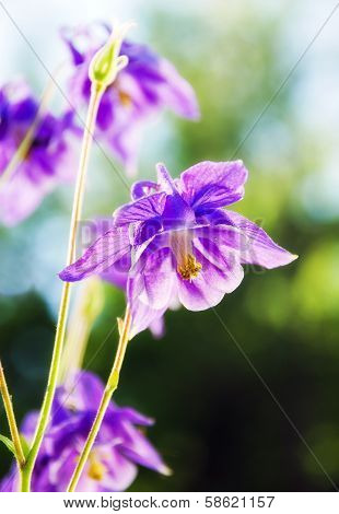 Purple Columbine - High Key