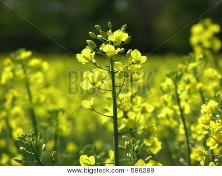 Flor mostaza