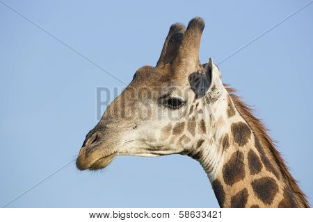 Southern Giraffe (giraffa Camelopardalis) South Africa