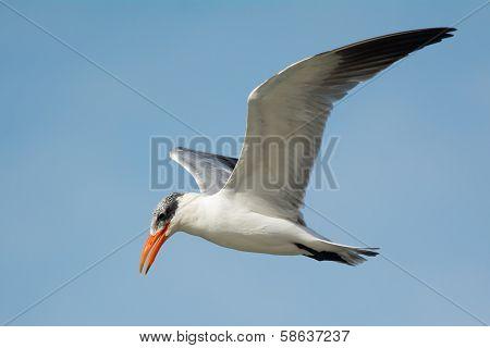 Caspian Tern (sterna Caspia) In Flight