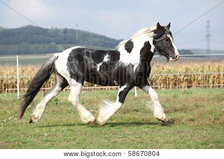 Gorgeous Stallion With Long Flying Mane