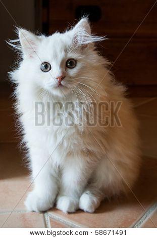 White Long-haired Kitten On A Tile Floor Inside