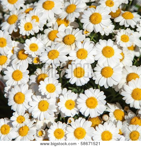 Crowd of Oxeye Daisies