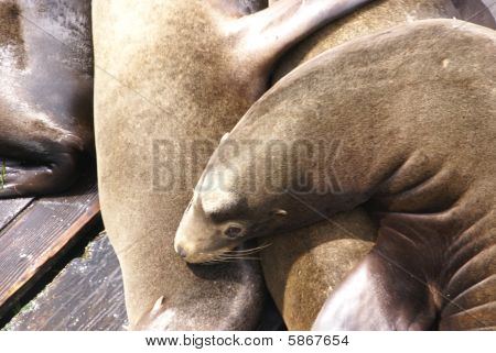 California Sea Lions, Sleeping On Wharf