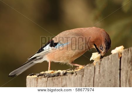European Jay Eats Bread