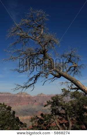 Grand Canyon Dead Tree On Rim