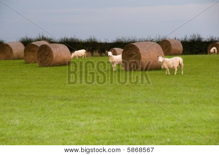Sheep In Field With Haybales