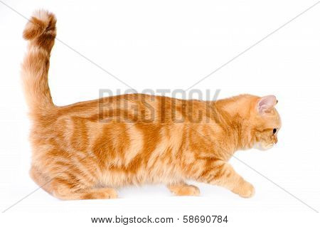 Red British Cat