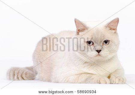 White British Cat