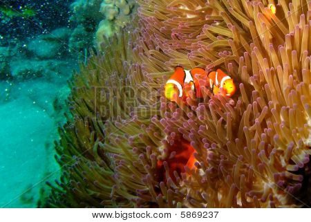 A Pair Of Clown Fish
