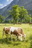 stock photo of highland-cattle  - Image of a couple of cows with a flock of cows in background - JPG