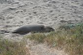 Elephant Seal on California Beach