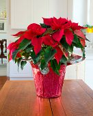 picture of poinsettias  - Christmas Poinsettia centerpiece in kitchen in modern home - JPG