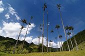picture of eucalyptus trees  - Colombia Cocora valley near Salento has an enchanting landscape of pinies and eucalyptus towered over by the famous wax palms Colombias national tree - JPG