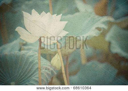 Beautiful White Lotus Flower And Lotus Flower Plants
