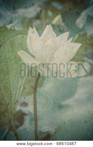 Beautiful White Lotus Flower And Lotus Flower Plants