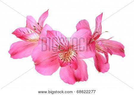 Alstro Flowers