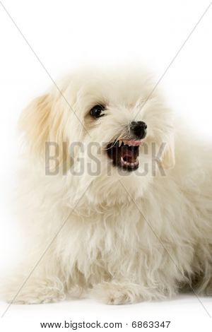 A Very Intimidating Bichon