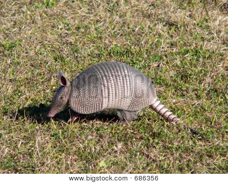 Armadillo In Florida