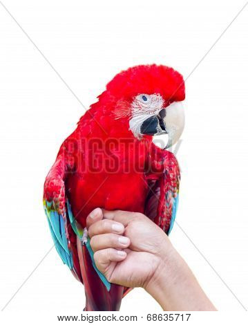 Green-winged Macaw Isolated On White