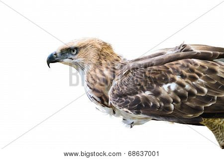Changeable Hawk Eagle Isolated On White