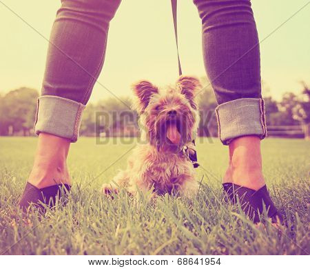 a cute yorkshire terrier sitting between a woman's legs toned with a retro vintage instagram filter