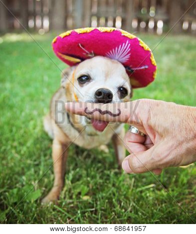 a chihuahua with a sombrero hat on sitting in the grass