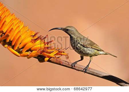 A female scarlet-chested sunbird (Chalcomitra senegalensis) on an aloe flower, South Africa