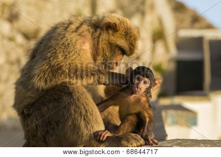 A Baby Berber Monkey With Its Mother In GibraltarA Baby Berber Monkey With Its Mother In Gibraltar