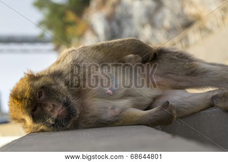 A Berber Monkey in Gibraltar