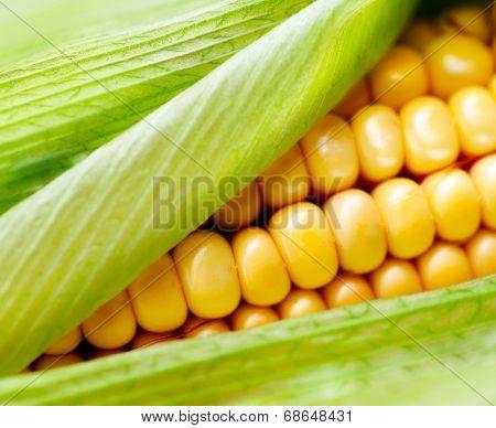 Sweet Corn closeup. Fresh organic corn cob close-up