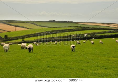Black-headed sheep grazing in a green meadow in Devon, UK